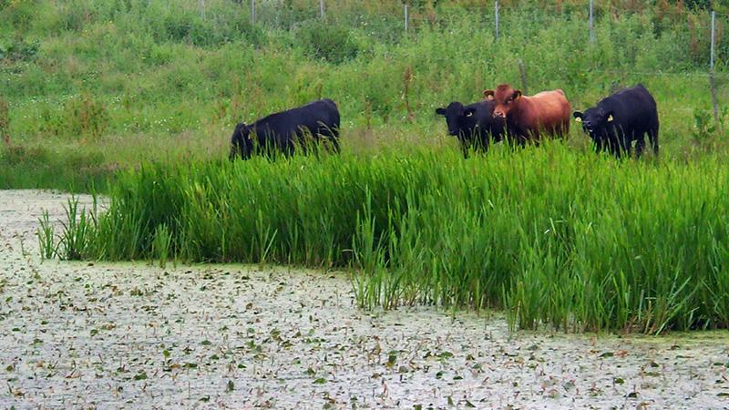 Køer i naturen
