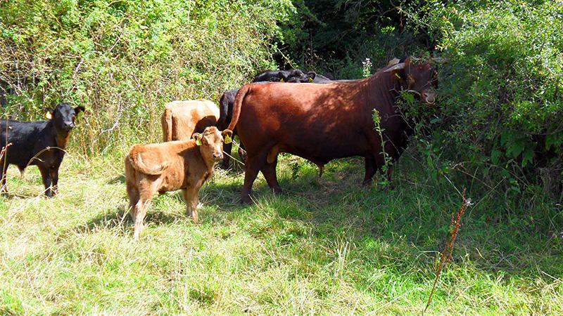 Små kalve sammen med voksen Dexter